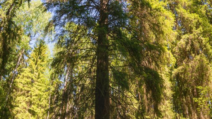 Велосипедный маршрут через Шишкин лес к самой большой ели Фенноскандии